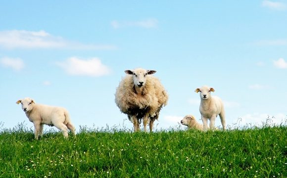 Ireland Introduces Sheep Traffic Lights to Boost Road Safety