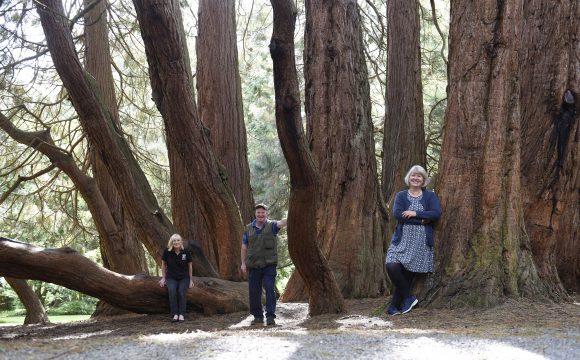 Castlewellan's Giant Redwood NI's Tree of the Year