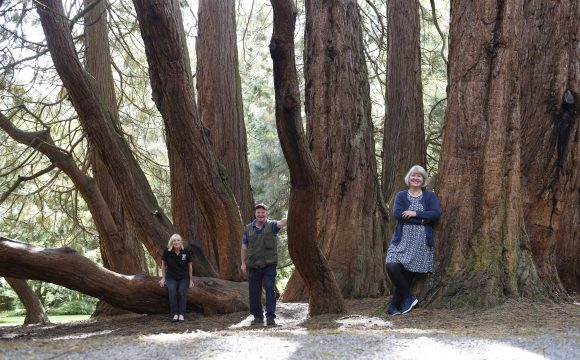 Castlewellan's Giant Redwood NI's Tree of the Year