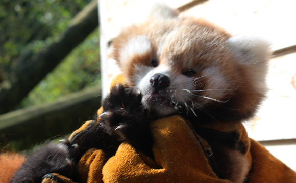 Belfast Zoo Announces Birth of Red Panda Cub Ahead of International Red Panda Day