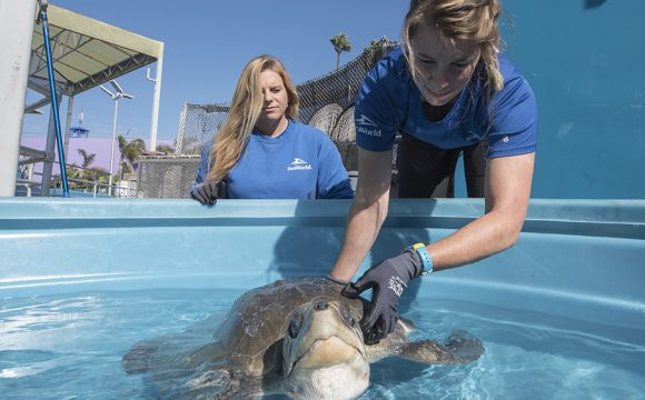 Rescued Sea Turtle Arrives at Seaworld San Diego