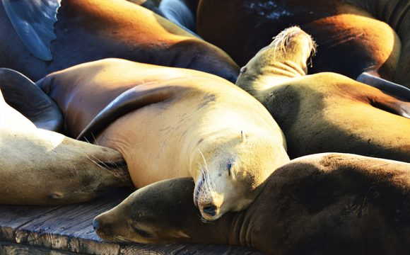 30 Years of World-Famous Sea Lions on PIER 39