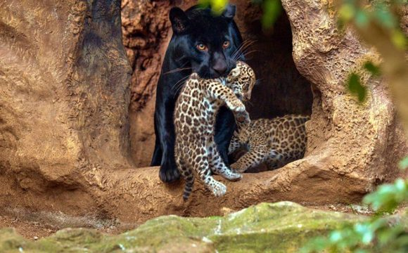 Loro Parque Celebrates the Birth of Twin Jaguars